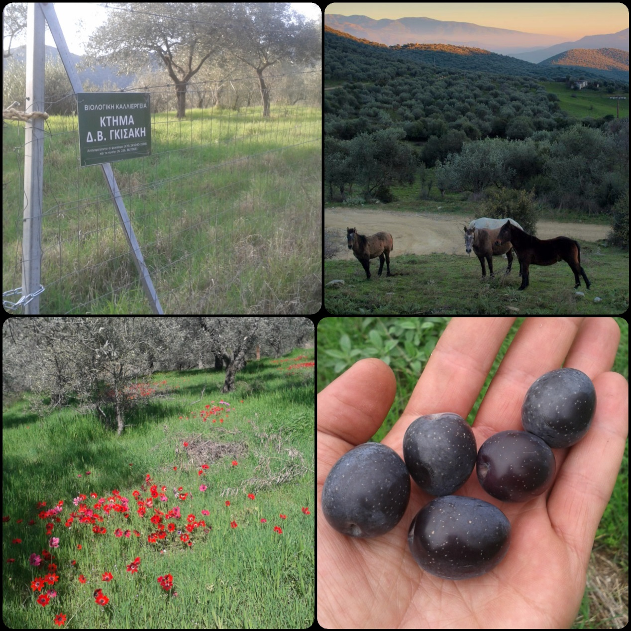 olives-agroecology